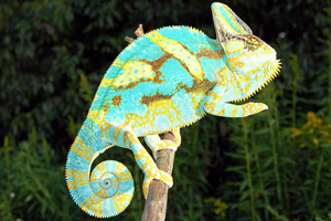 Veiled Chameleon Sub Adult